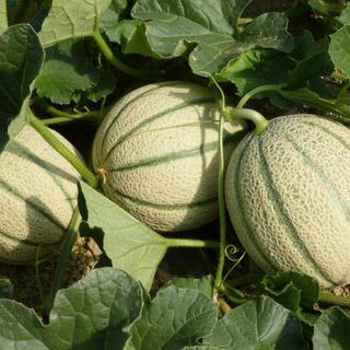 Melone for Coltivare meloni